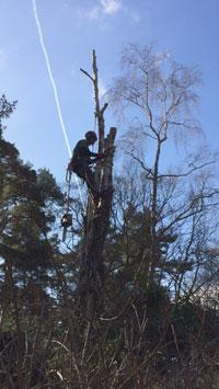 tree surgery tree felling