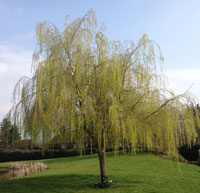 willow tree - tree care in spring