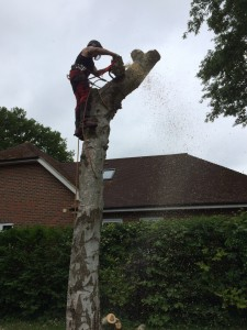 Tree Surgeon who has climbed up a tree and is piecing down the tree in chunks
