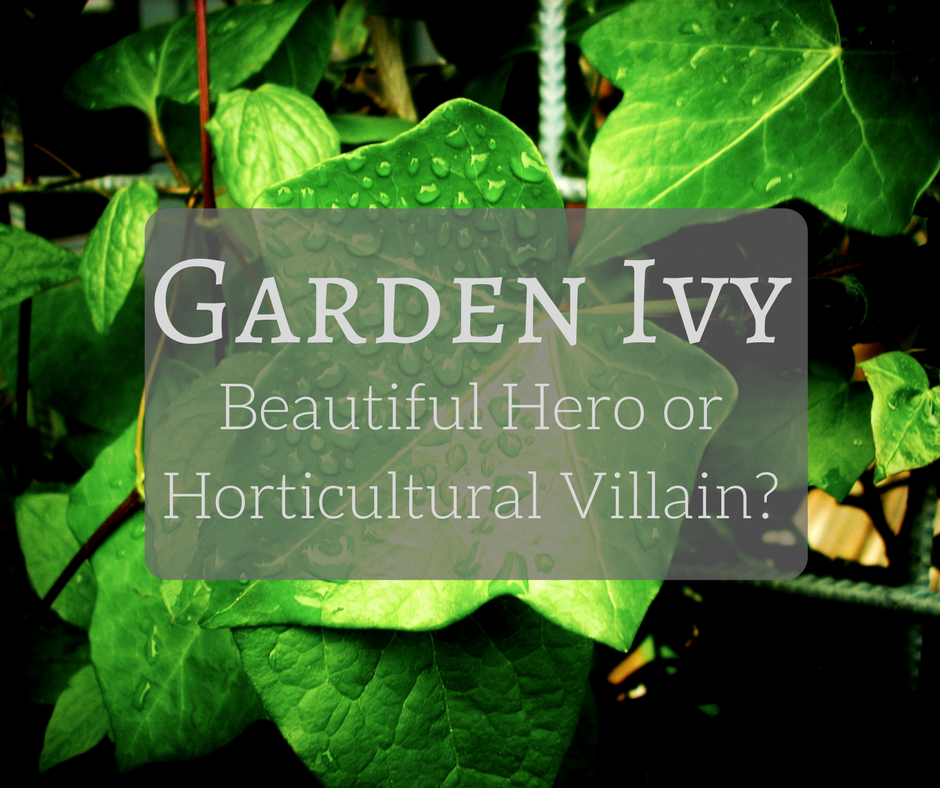 Garden Ivy. Beautiful Hero or Horticultural Villain?