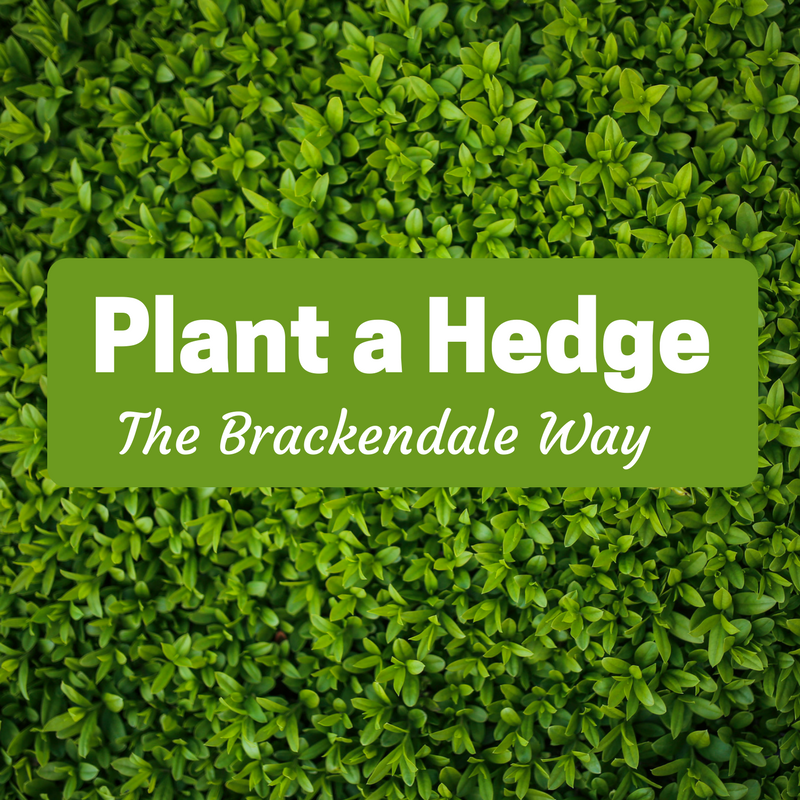 Plant a hedge the Brackendale way